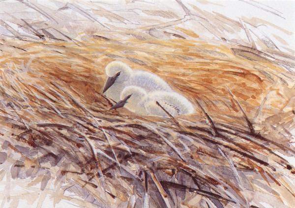 Storchenküken im Nest