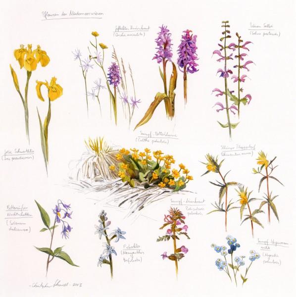 Pflanzen der Niedermoorwiesen