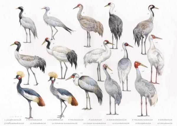 Die Kraniche der Welt Cranes of the world 50 x 70 cm